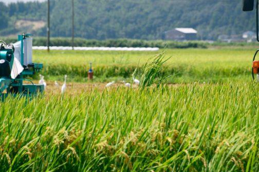 おもしろかったのは数本背の高い稲がぴょこっと飛び出していたこと。別の品種が混じってしまったのでしょう。