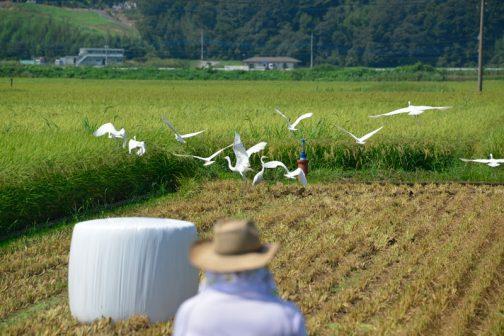 刈取り痕ではバッタやカエルが飛び跳ねています。それを狙ってか、鳥たちがたくさん集まってきます。