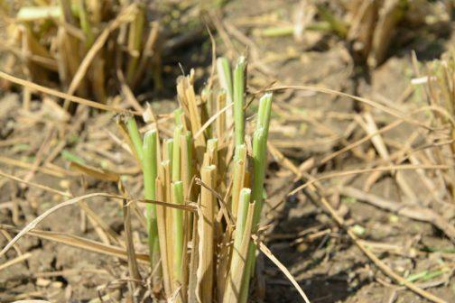 気が付いたのはバリカンで刈っているので、稲の刈り痕がシャープなこと。
