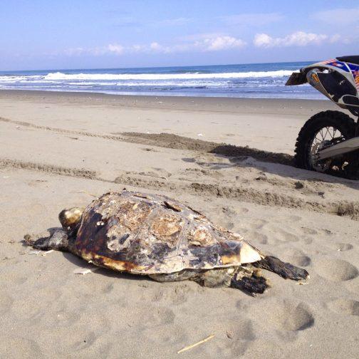 以前砂浜で見つけた亡骸、アカウミガメだったのかもしれません。剥製が流れ着いていた・・・という可能性も否定できませんが・・・