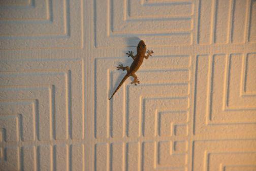 去年家の天井に貼付いていたヤツは10センチにも満たない小さなものでした。コイツが成長したのでしょうか?