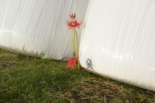 あらーーー潰されちゃったのもあります。タイミングが悪かったですね。花が潰されても、この後葉が出る頃にはタマを運んでしまうのでヒガンバナは大丈夫。