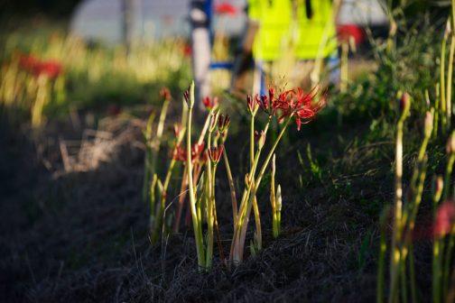 当初、シーズンには隙間なくみっちりヒガンバナの赤い絨毯ができるイメージを持って始めました。 が、しかしっ! 農地の法面は固い上に肥料分が少ないのか、6年経ってもポツポツと咲いている感じで、1500球も植わっているように見えない結果です(総延長がかなりあるのにせよ)。