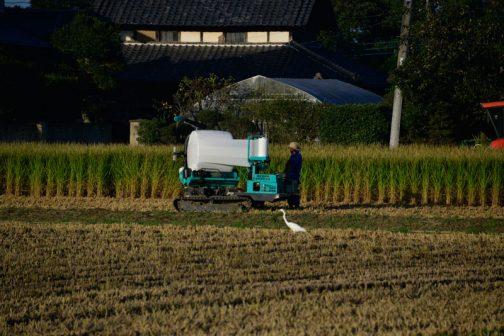 しばらく収穫を待っていた晩生の飼料稲の収穫が始まっています。