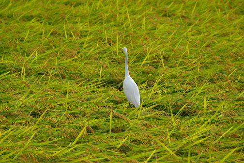 もし稲の上を歩けたら楽しいでしょうね!雲の上を歩くよな感覚かもしれないなぁ。今日はこれでおしまいです。それではまた明日!