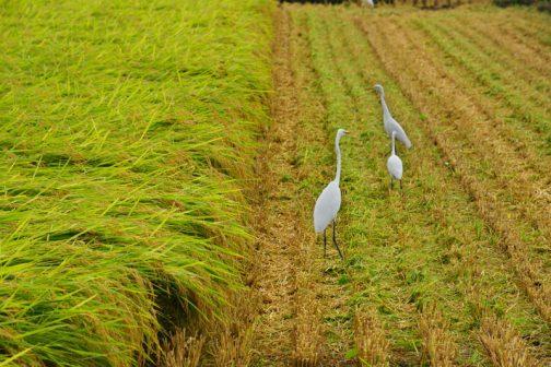 この間のコシヒカリの稲刈りで見た、稲刈りに集まってくるサギ。多分チュウサギだと思います。