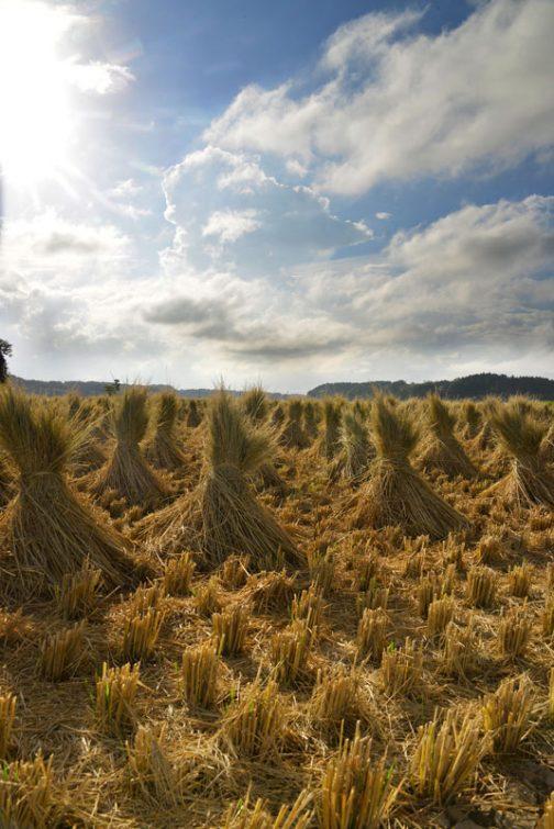 コンバインは籾だけとって藁の部分は刻んでしまいますので、藁を利用する場合には別の手順を踏まなければなりません。