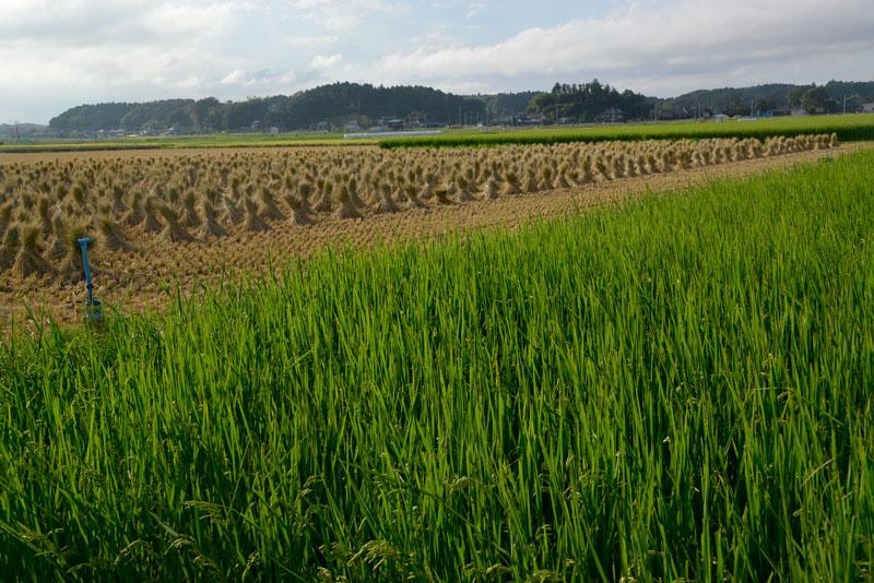 手前は飼料稲なので緑。真ん中に藁をはさんで空が白。3色の層になってます。