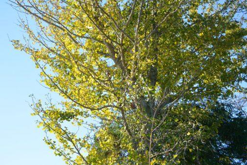その視線の先がこれ。一般の人がほとんど気が付くことはないかもしれません。中央付近にカラッポのアケビが2つ・・・お天気と植物のことを長年気にしているからこそ、話題豊富なのでしょうね。