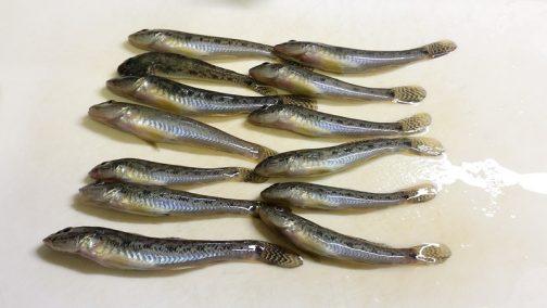ハゼはとてもかわいい魚。僕は見てしまうと食べられなくなってしまいます。食おうっていう気持がわかりません。