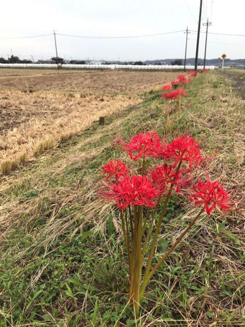 これはなにも島地区に限ったことではなくて、クルマで出歩いていても、あちらの斜面、こちらの畦道で咲き誇っていてそう感じます。「今年のヒガンバナは調子がいい」と。