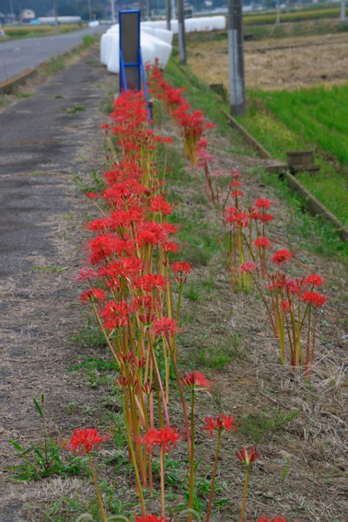 左の列は2014年と2017年に植えたもの。右の列は去年植えたもの。 去年植えたと言っても、ヒガンバナを夏に植えるとその年の秋咲くので、右の列の花が咲くのは2回目です。