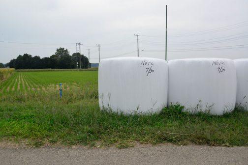 早生と中生の飼料稲のWCSはすべて運ばれていて(台風が来て流されなくてよかったですね!)これから晩生のWCSが並びます。この写真を撮った稲刈りの次の日には、もう発酵した甘い匂いが漂っていました。