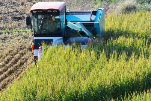 この晩生の飼料稲は草丈1mではきかないかもしれません。