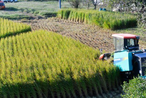 昨日の続き、飼料稲の稲刈りです。
