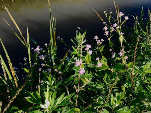 今回目に付いたのは水路脇に咲く小さなピンクの花、ミゾソバ(溝蕎麦)です。