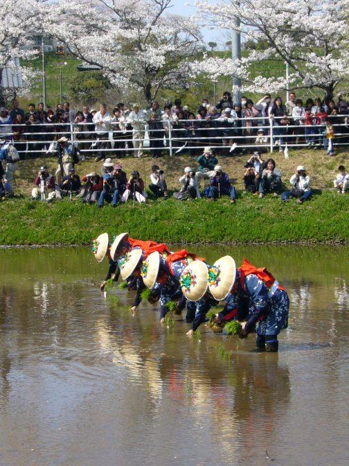 ウィキペディア、香取神宮御田植祭、katorisiさんの写真。これをみると田植えをしているのは女性っぽいですね。