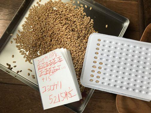 なんだかんだ数えるのに2時間半くらい掛かってしまいました。注目の苗床トレー1枚あたりの種籾の数は5,215粒!