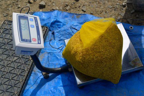公称4キロのモミロマンの乾籾、崔芽後は5.66キロになってました。あくまでも参考ですが、41%重くなっています。