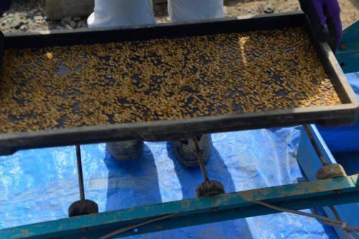 種まき準備の際に何回もテストして、ちょうどよいくらいの種籾の量を量ります。