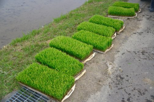 植えているのは飼料稲のモミロマンです。