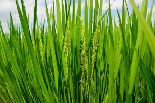 飼料稲でしょうか、稲の花が咲いています。週末の活動が終わり、お盆開けには飼料稲の収穫が始まります。