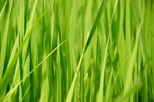 大抵は少しでも近づくと「クルリ」と稲の葉の裏に隠れてしまいます。