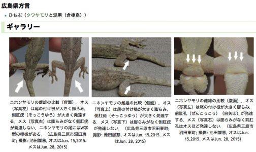 広島大学のデジタル博物館に詳しい見分け方が書いてありました。尻尾の捏が膨らんでいるのはオス。それほどでもないのはメスらしいです。