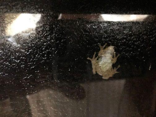 おまけ。別の窓に別の爬虫類が張り付いています。彼らは複数でいることもあり、「食事は一人」のルールは持っていないみたいです。ただ、食事の方法は全くヤモリと一緒です。