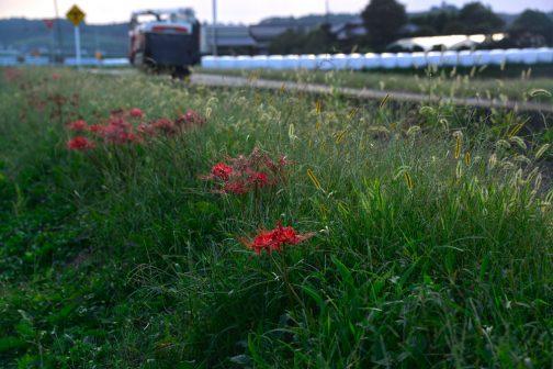 若干草刈りのタイミングがズレてネコジャラシと同じくらいの背丈になってしまったヒガンバナ。背後にWCSが並んでいるのと、コンバインが走っているのが秋らしいです。