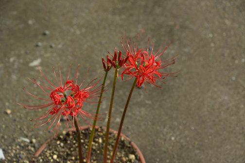 鉢植えのヒガンバナは、地植えから遅れること10日、9/26日にようやく咲き始めました。