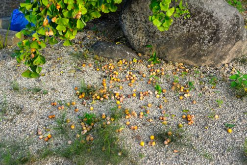 そのイチョウの木がたくさん銀杏を降らせていました。誰も取って行きませんけど。