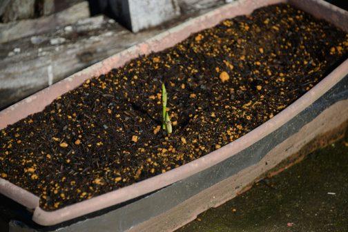 ところが同じ日、鉢植えのヒガンバナのほうはじわじわと花芽が伸びつつある状態。