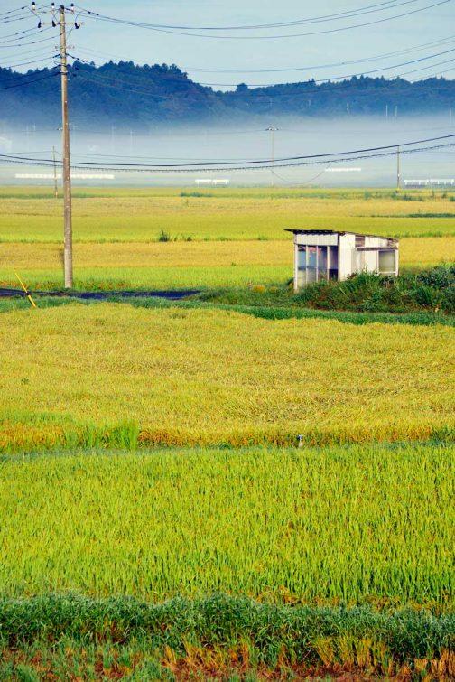 それでも真ん中らへんに見える黄色い田んぼ2枚は食用米でしょうか。お米、いいと思うんだけどなぁ。