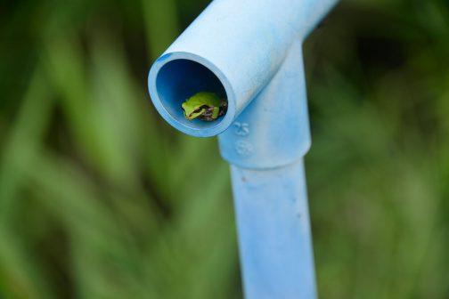 暗渠に水を落とすためのスイッチ?の中にカエルが・・・青ガエル、ほとんど陸上にいてヘンなカエルです。